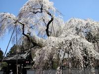 清雲寺のしだれ桜・写真