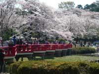 岩槻公園の桜・写真