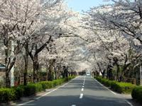 長瀞の桜並木・写真