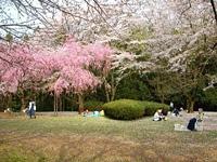 泉自然公園の桜・写真