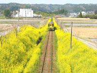 菜の花電車・写真