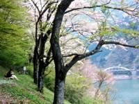 奥多摩湖の桜・写真