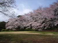 砧公園の桜・写真