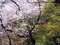 等々力不動尊の桜