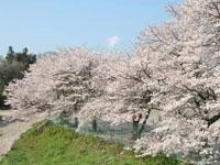 塩田堤の桜・写真