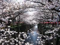 目黒川桜並木・写真