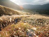 仙石原高原のススキ・写真