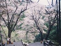 畑宿の夫婦桜