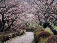 辻村植物公園の梅園・写真