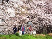 金目川桜並木