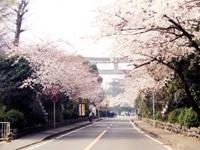 寒川神社参道のサクラ