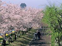 やすらぎ堤の桜・写真