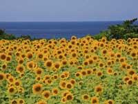 尖閣湾のひまわり・写真