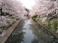 松川辺りの桜・写真