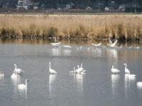 邑知潟の白鳥・写真