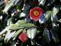 徳保の椿原生林
