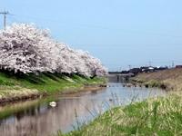 子浦川の桜並木