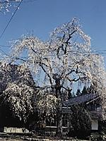 浄蓮寺のしだれ桜・写真
