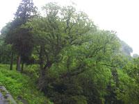 栃ノ木峠のトチの木・写真