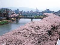 足羽川の桜並木・写真