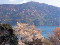 神子の山桜・写真