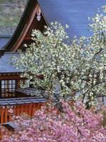 金櫻神社の桜・写真