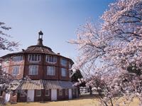 清春芸術村のソメイヨシノ・写真