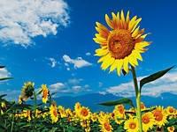 北杜市明野サンフラワーフェス2012・写真