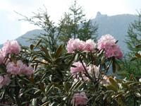 夢の庭園のシャクナゲ・写真