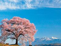 わに塚のサクラ・写真