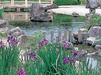 龍門渕公園のアヤメ・写真