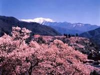 高遠城址公園の桜・写真