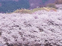 弘法山古墳の桜・写真