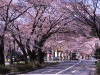桜並木・写真