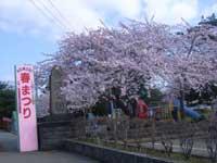 合浦公園の桜・写真