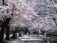 十和田市官庁街通(駒街道)の桜・写真