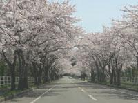 来さまい大畑桜ロード・写真