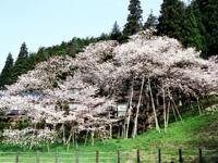 臥龍桜・写真