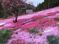 國田家の芝桜・写真