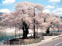 荘川桜・写真