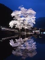 苗代桜・写真