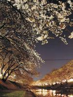 新境川堤の桜(百十郎桜)・写真