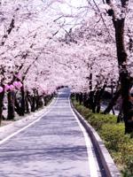 桜トンネル・写真
