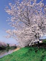 勝間田川沿いの桜・写真