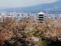 香貫山の桜・写真