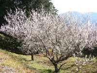 牛原山町民の森の梅