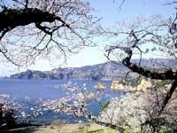 黄金崎の桜