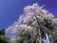 報本寺のしだれ桜