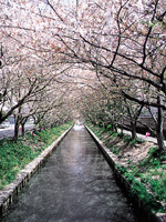木屋川堤の桜・写真
