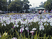 油ヶ渕花しょうぶ園・写真